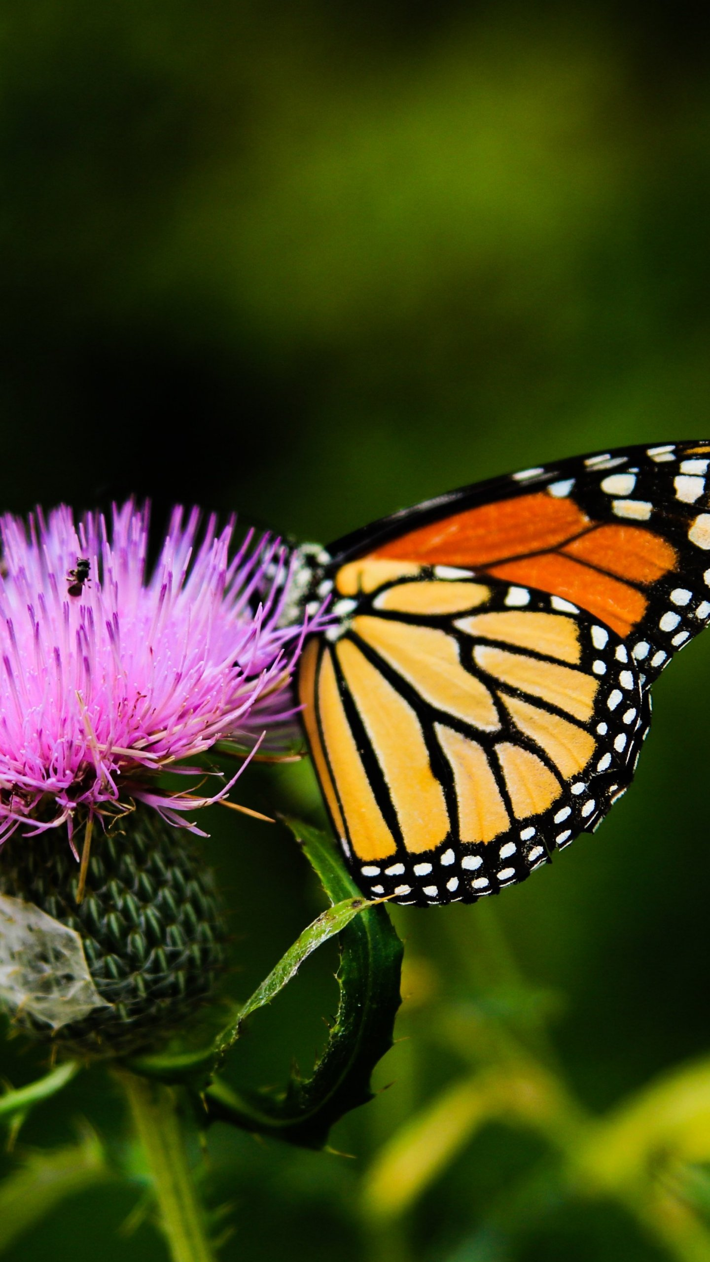 Monarch Butterfly on Thistle Flower Wallpaper   iPhone Android 1440x2560