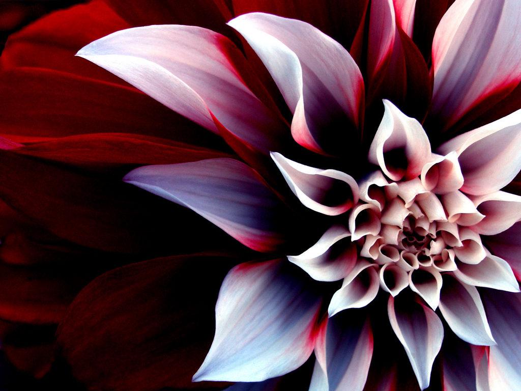 Wallpapers flower backgrounds Desktop Wallpaper Backgrounds 1024x768