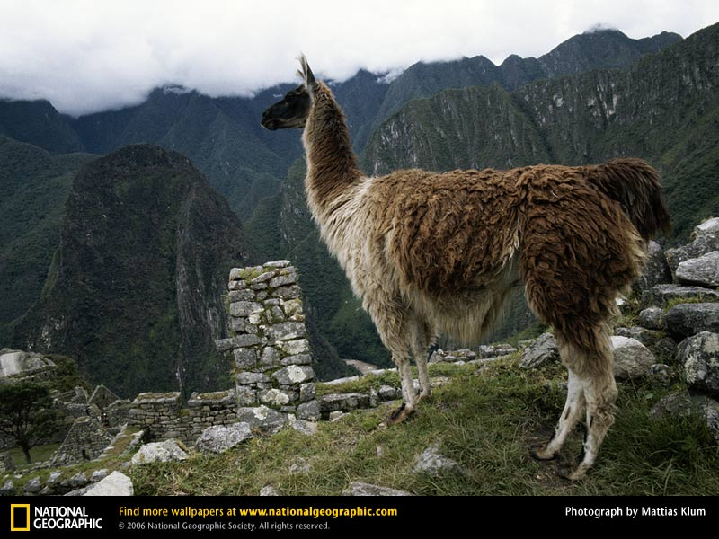 Llama Picture Llama Desktop Wallpaper Wallpapers Download 800x600