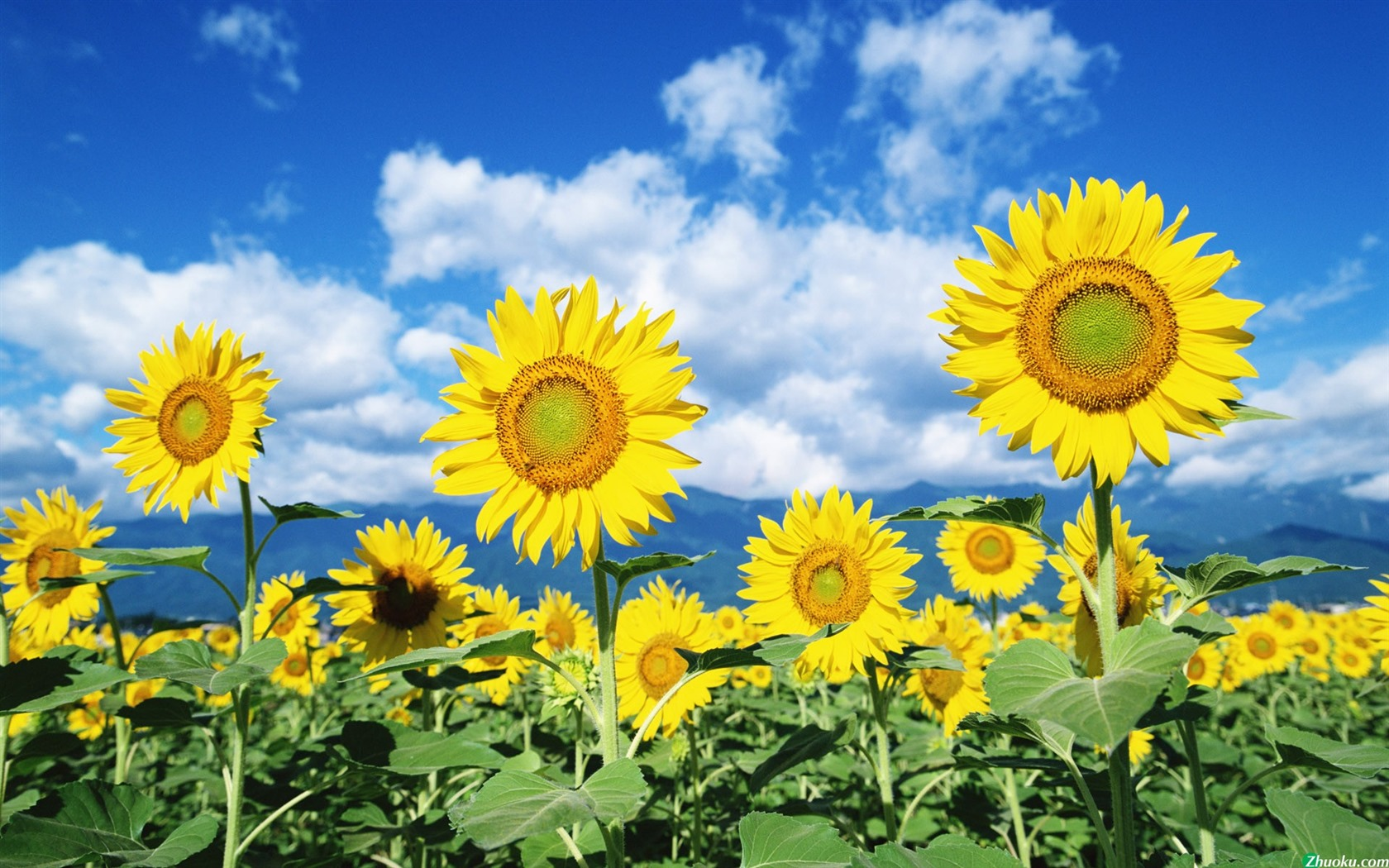 Blue sky and white clouds flowers sunflowers yellow green leaves 1680x1050
