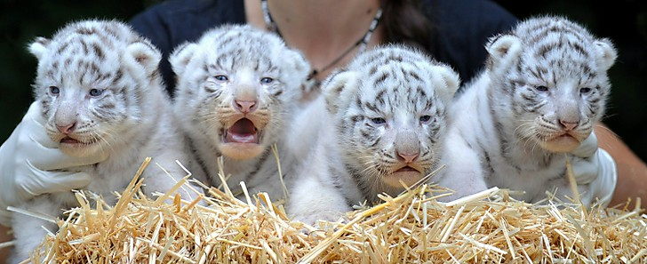 Beautiful White Tiger Cubs Wallpaper Wallpaper Pictures 728x297