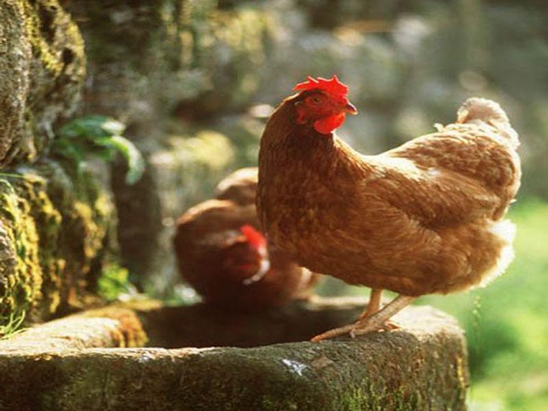 Hen With S Wallpapers Hens Wallpapersbest Hd 800x600