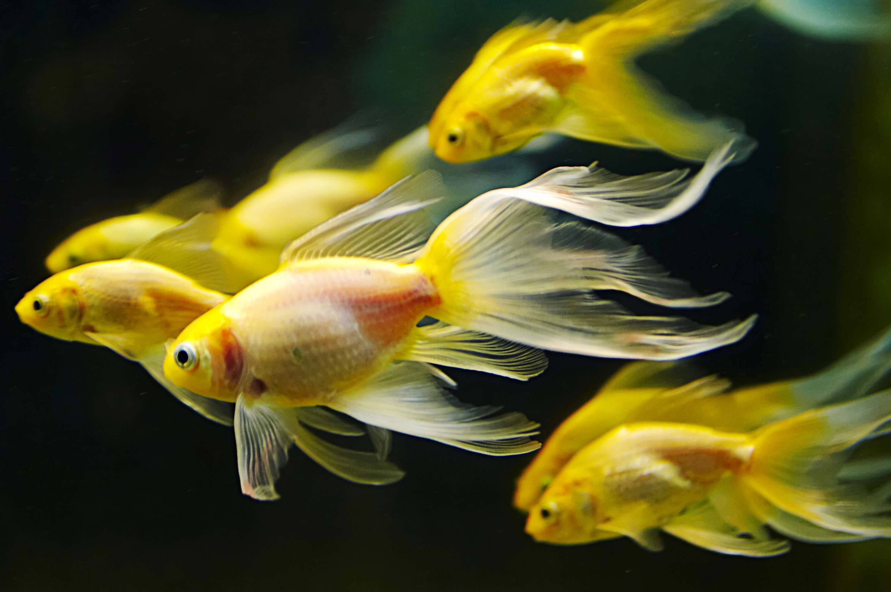 Underwater fish fishes goldfish gold fish wallpaper 3000x1993 3000x1993