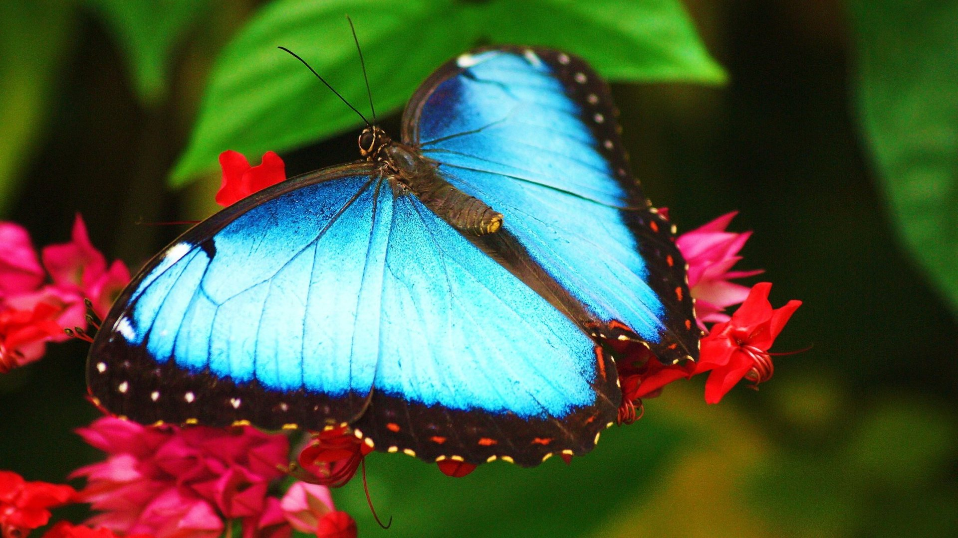 Blue Butterfly Full HD Desktop Wallpapers 1080p 1920x1080