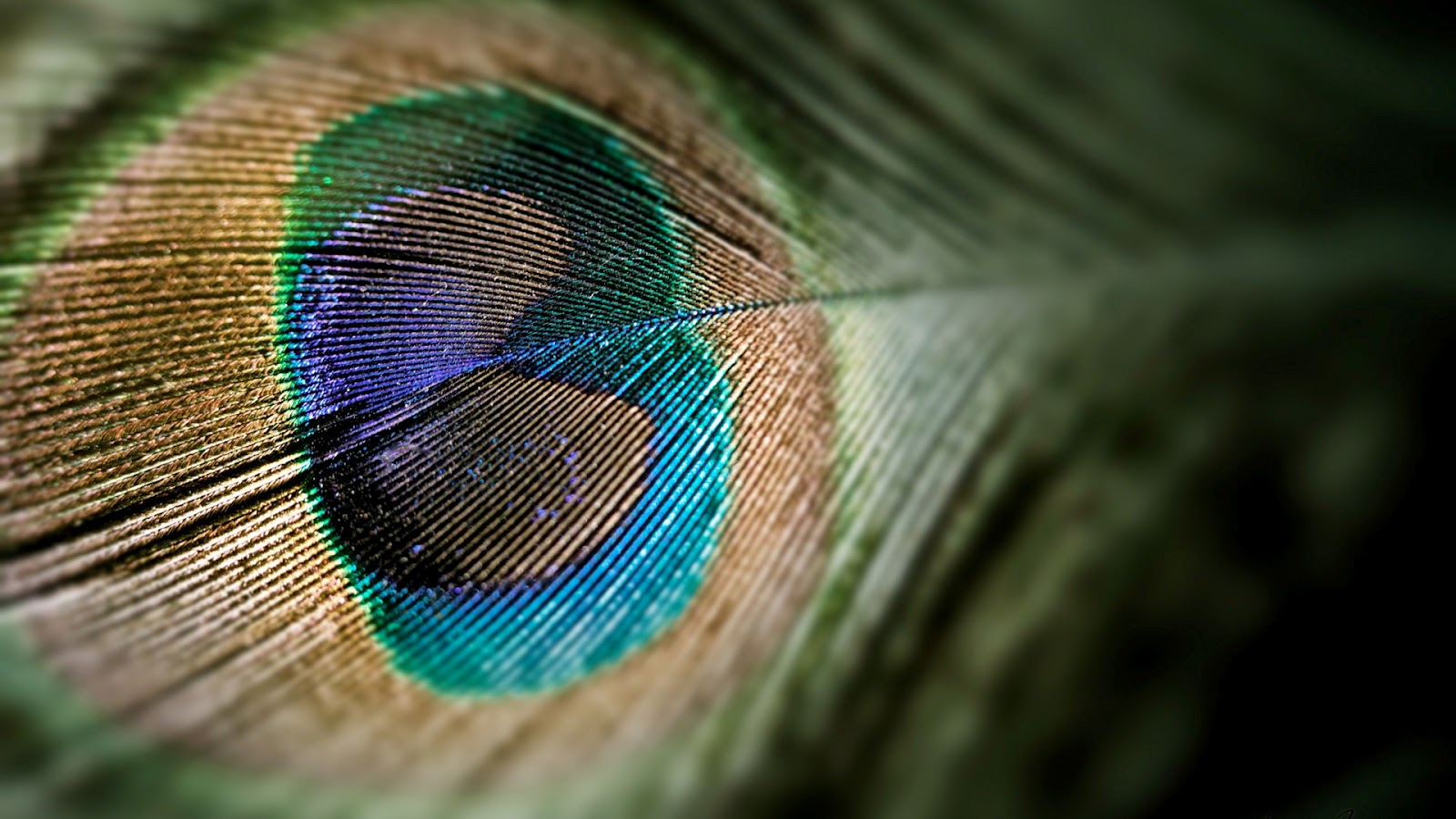 Colorful Peacock Feather   HD Tablet Wallpaper 1600x900