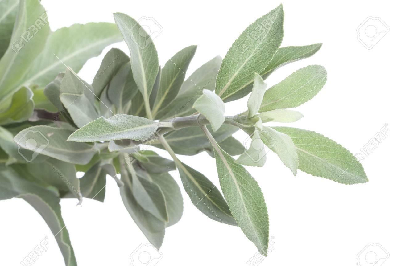 Closeup Of Fresh White Sage Salvia Apiana Branch On White 1300x863
