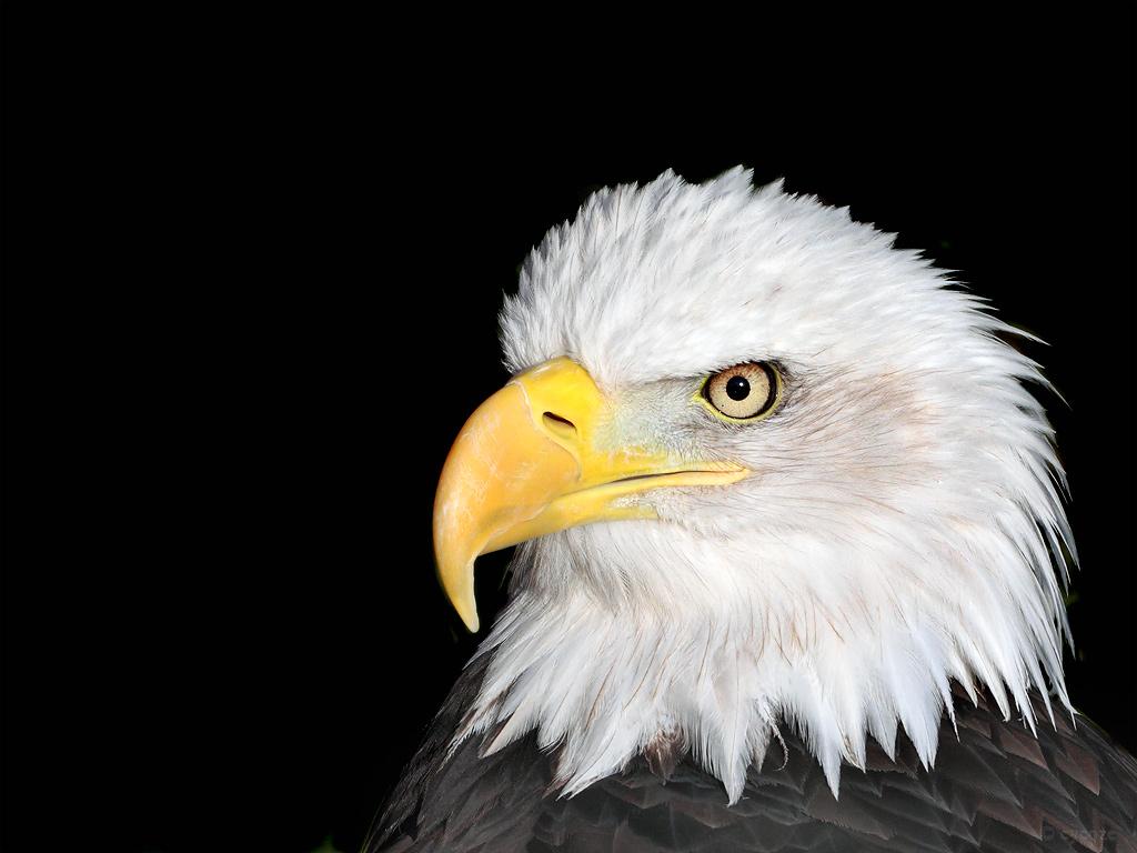 Bald Eagle Head Picture 1024x768