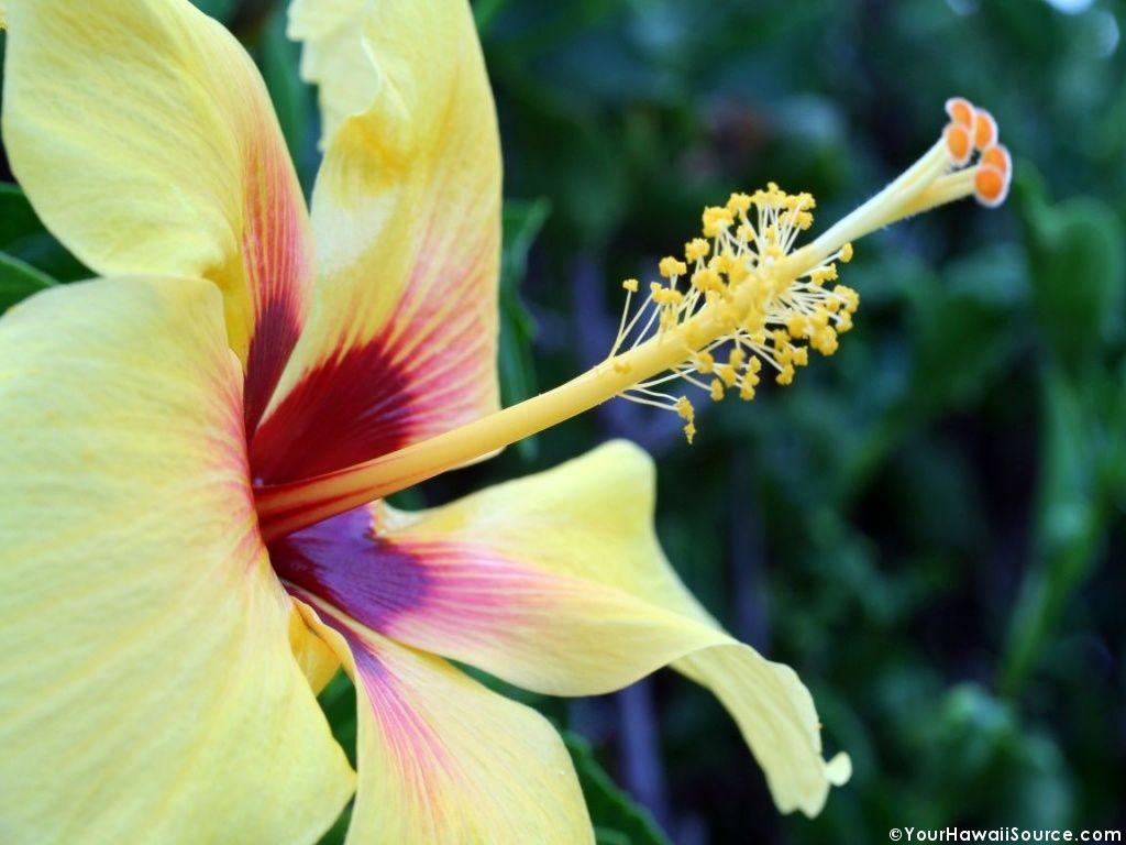 Beautiful Hawaiian Flowers Wallpaper Images  WallpaperSafari