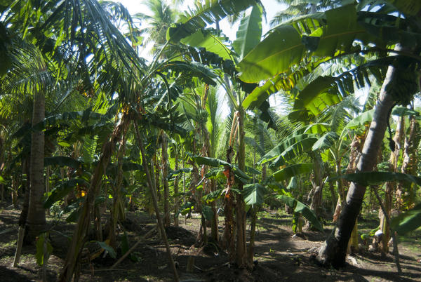 grove of cultivated banana trees on a farm in a banana palm plantation 600x402