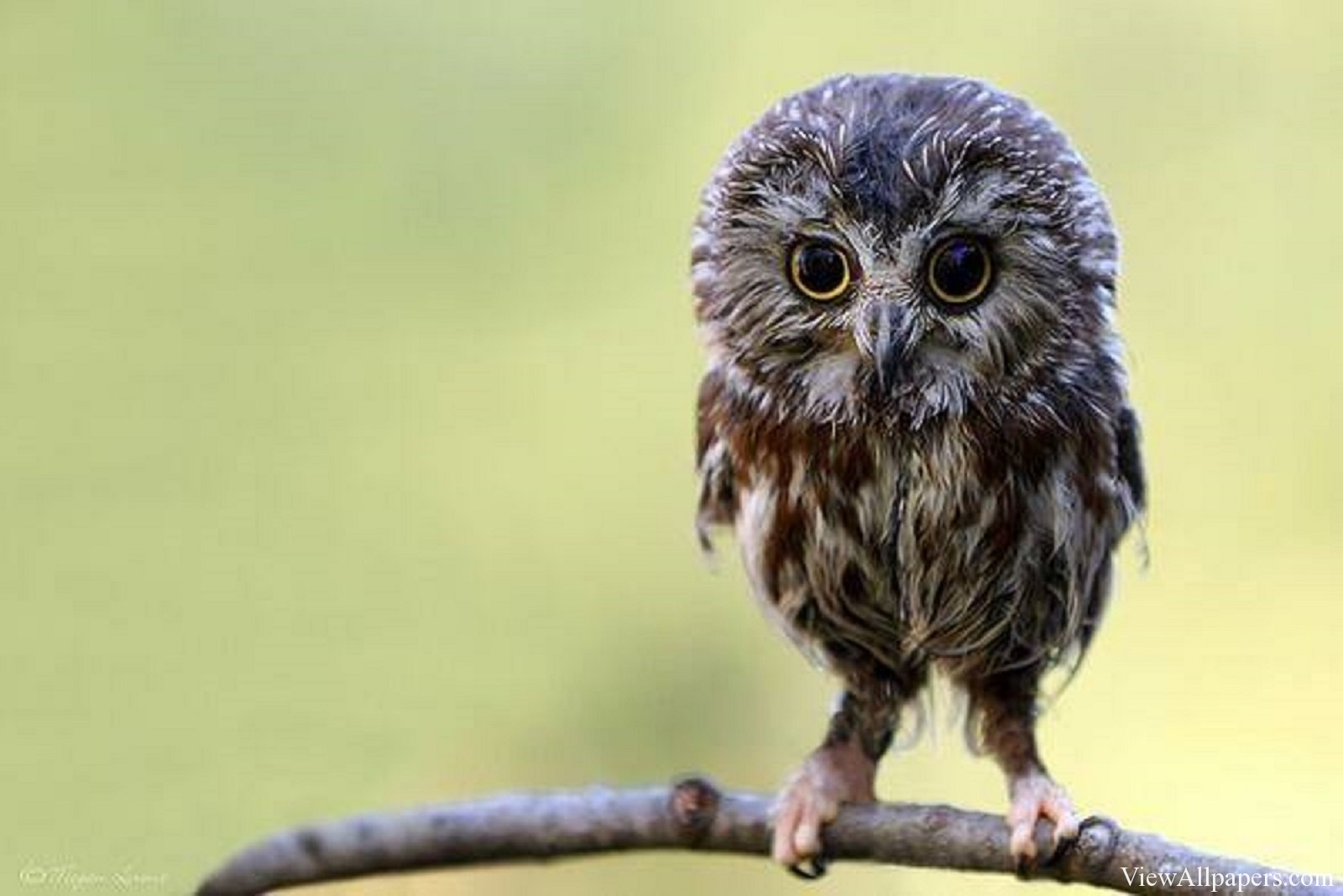 Animal Planet Baby Owl High Resolution download Animal Planet 1600x1068