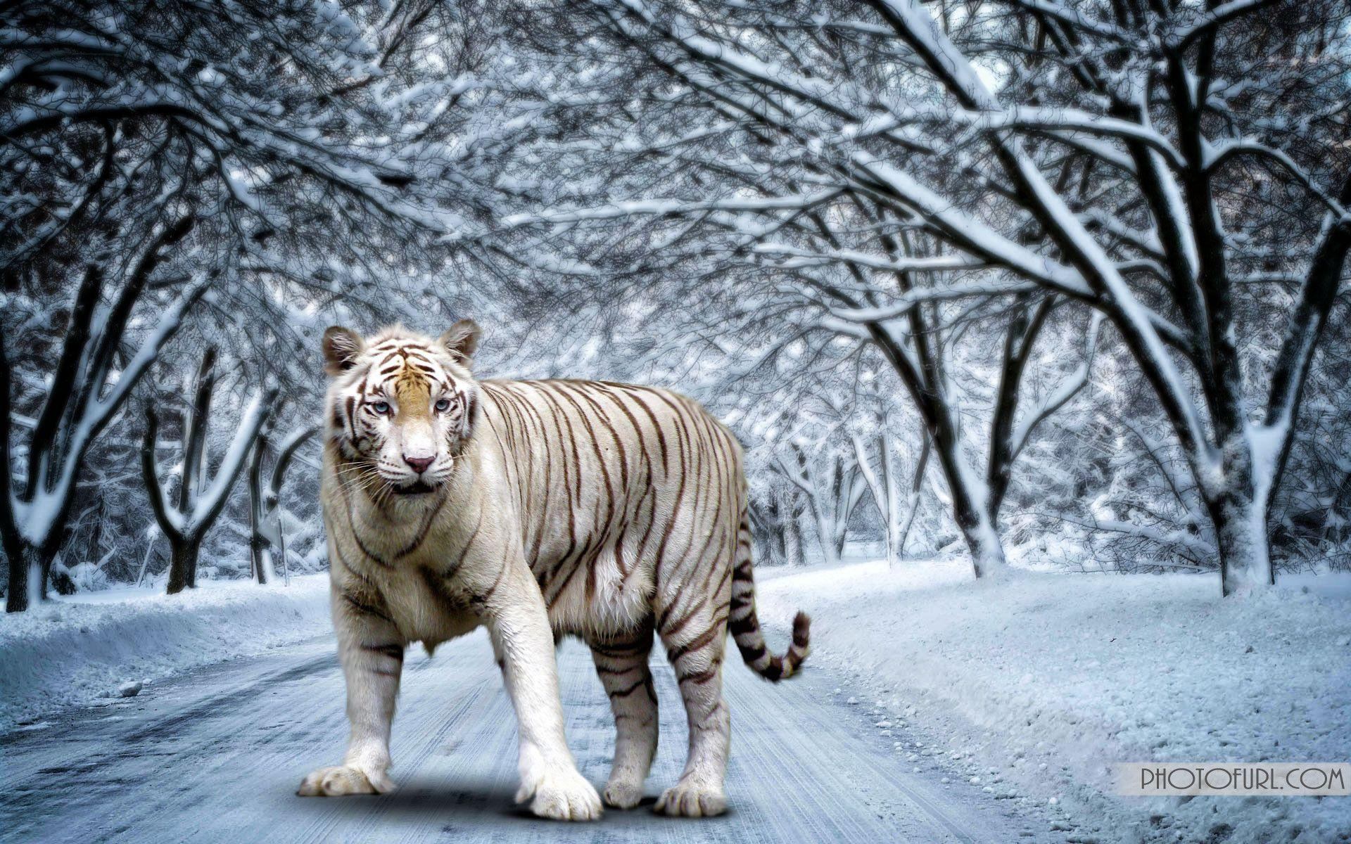 White Bengal Tiger Wallpapers 1920x1200