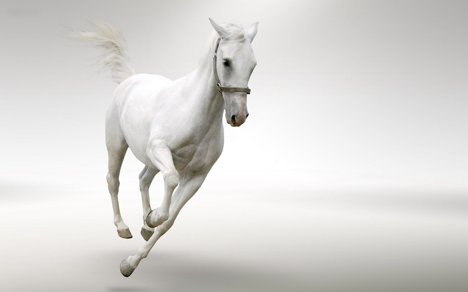 Hd wallpaper white background - White Horse Hd Wallpapers White Horse Hd Wallpapers White Horse