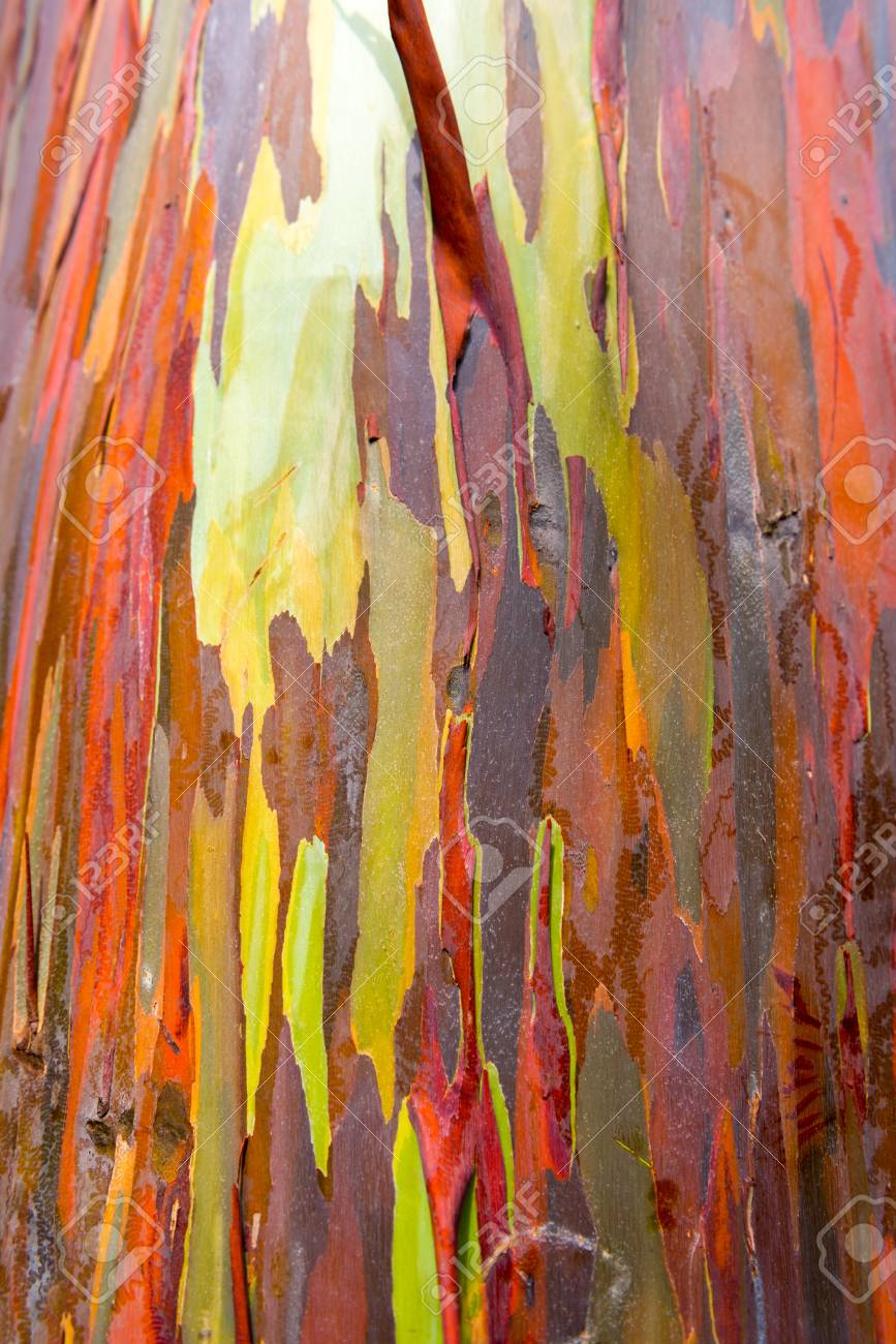 Eucalyptus Bark Texture Abstract Background Kauai Hawaii USA 867x1300