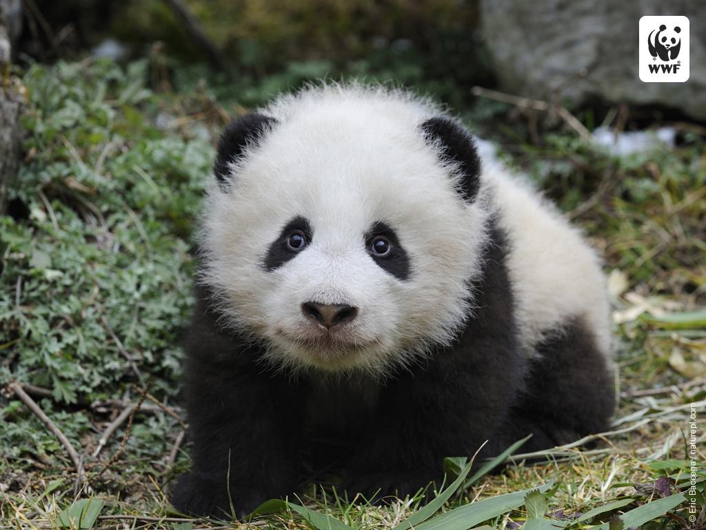 Panda Wallpaper image 1024x768
