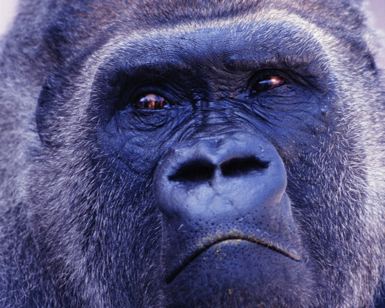 Wallpaper Collections gorilla background 1280x1024