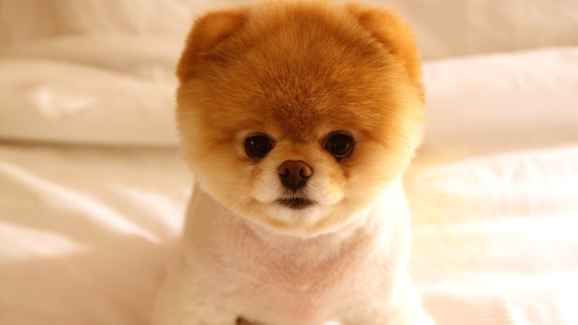 Cute Puppy Wallpaper   Looks Like A Teddy Bear 118426   HD 1920x1080