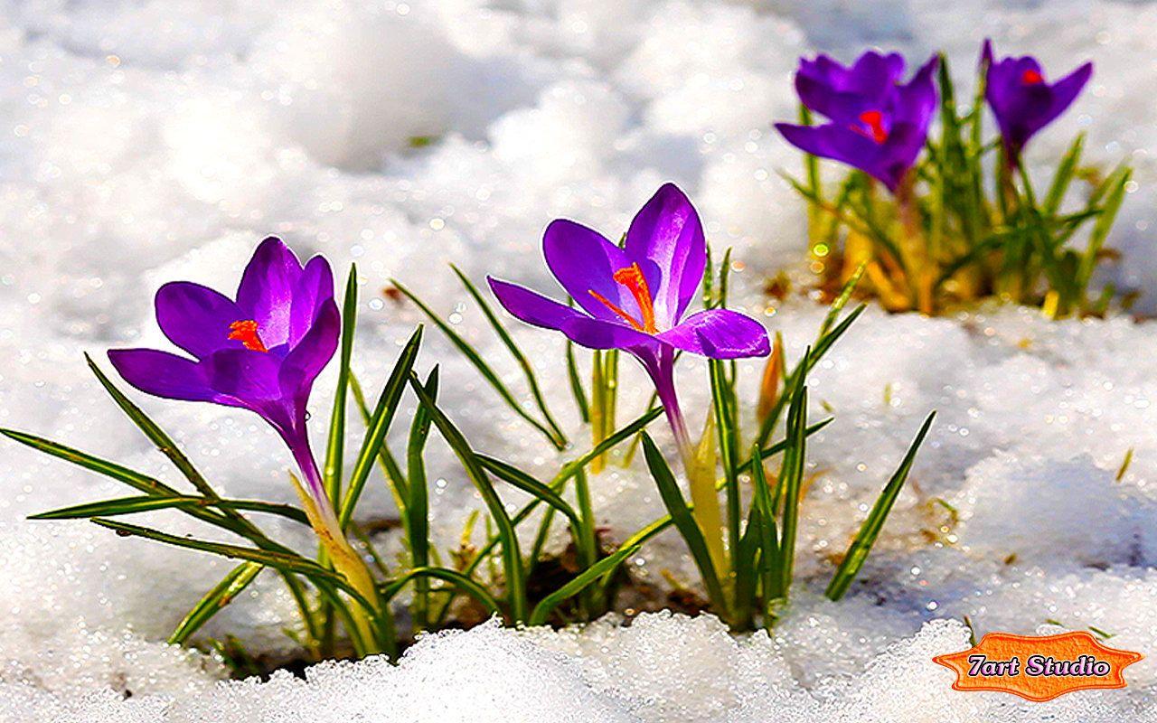 Pin by Hilda Maritz on FLOWER IN THE SNOW   CROCUS SCHWERTLILIEN 1280x800
