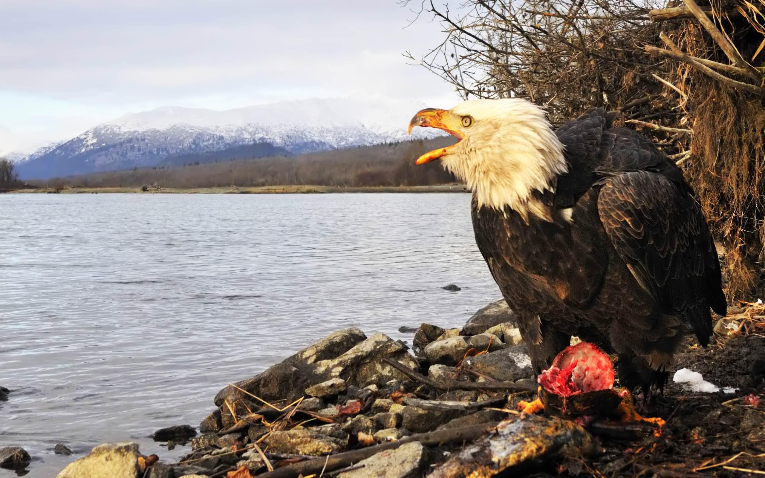American Bald Eagle Wallpapers 2560x1600