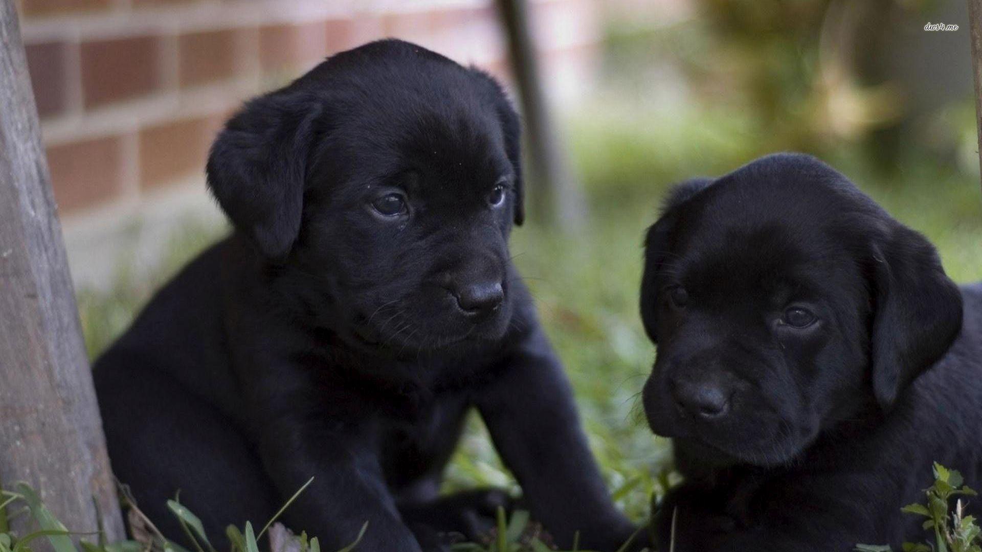 Black Labrador Puppies wallpaper   Animal wallpapers   27901 1920x1080