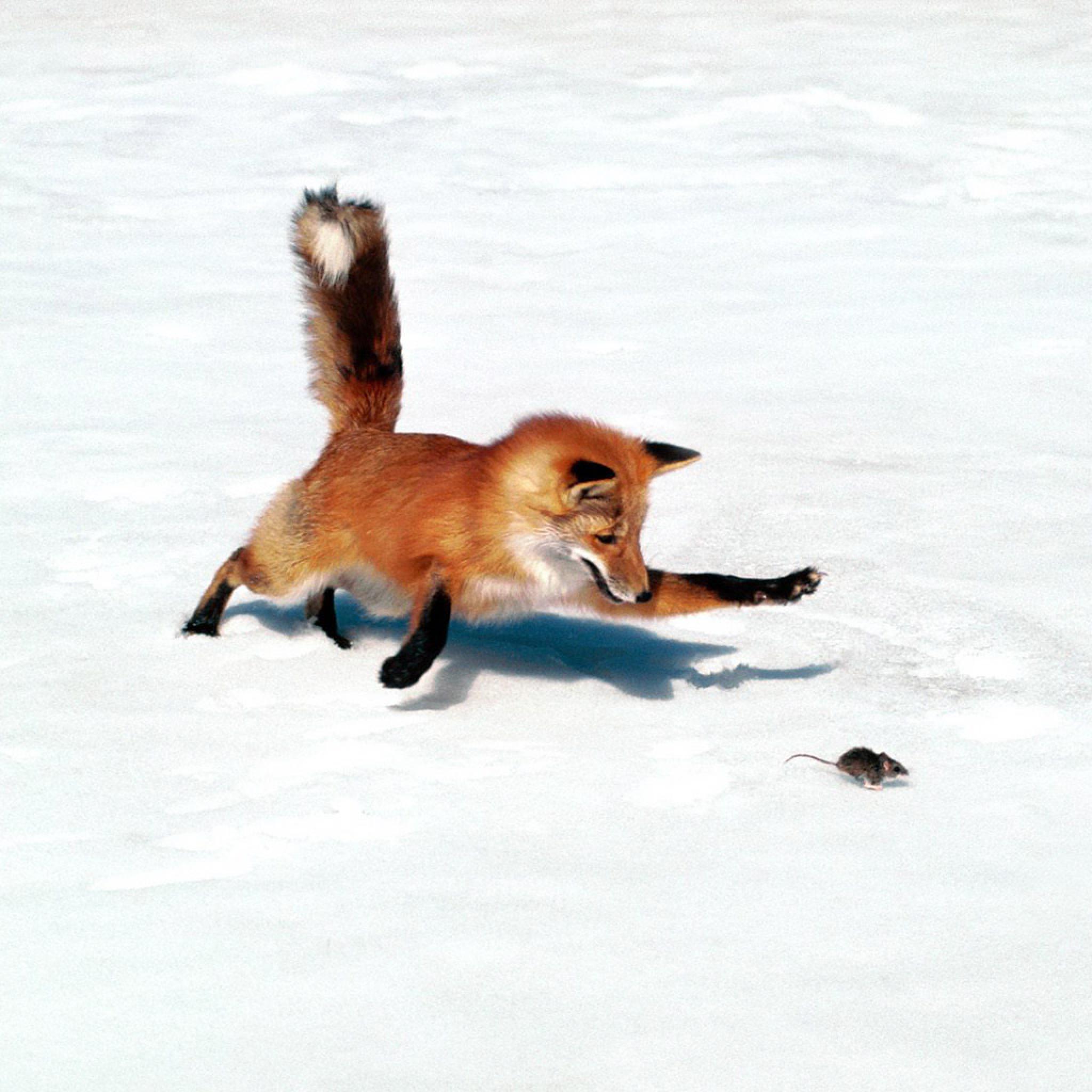 Animals   Red Fox Hunting Mice   iPad iPhone HD Wallpaper 2048x2048