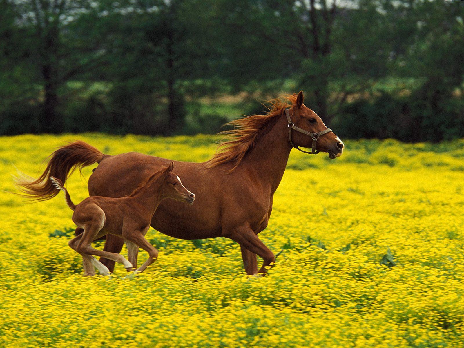 Horse WallpapersHD Horses Wallpapers Beautiful Cool Wallpapers 1600x1200
