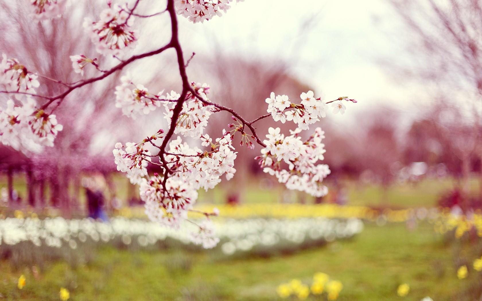 Flowers Spring Season Wallpaper Desktop Wallpaper with 1680x1050 1680x1050