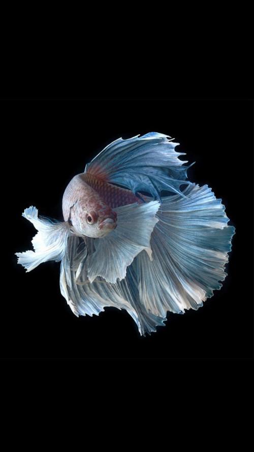 iPhone 6s Wallpaper with Silver Albino Betta Fish in Dark Background 500x889