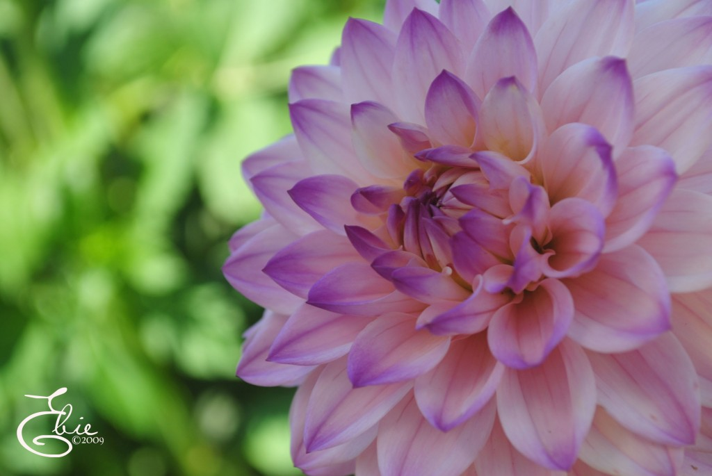 dahlias flowers wallpaper dahlias flowers wallpaper dahlias flowers 1024x685