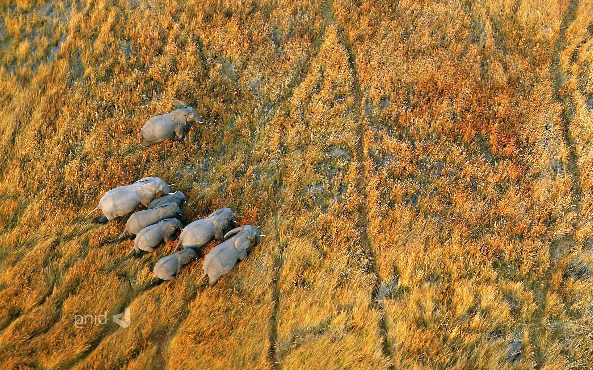 nature Landscape Plains Animals Wildlife Elephants Aerial 1920x1200