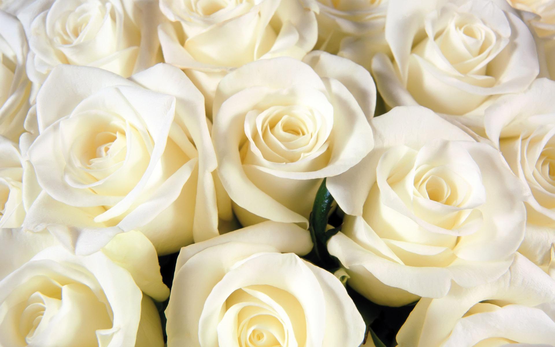 white rose background wallpapersafari
