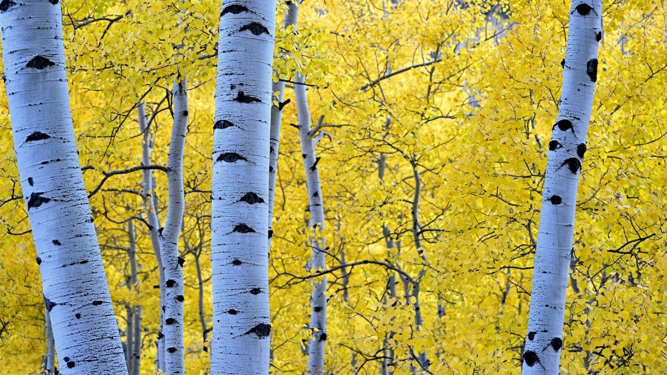Aspen Tree Wallpapers HD 1366x768