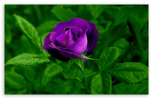 Purple Rose Wallpaper For Desktop Wallpapersafari