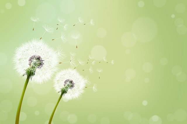 Blowing Dandelion Wallpaper Dreamy dandelion blowing seeds 640x426