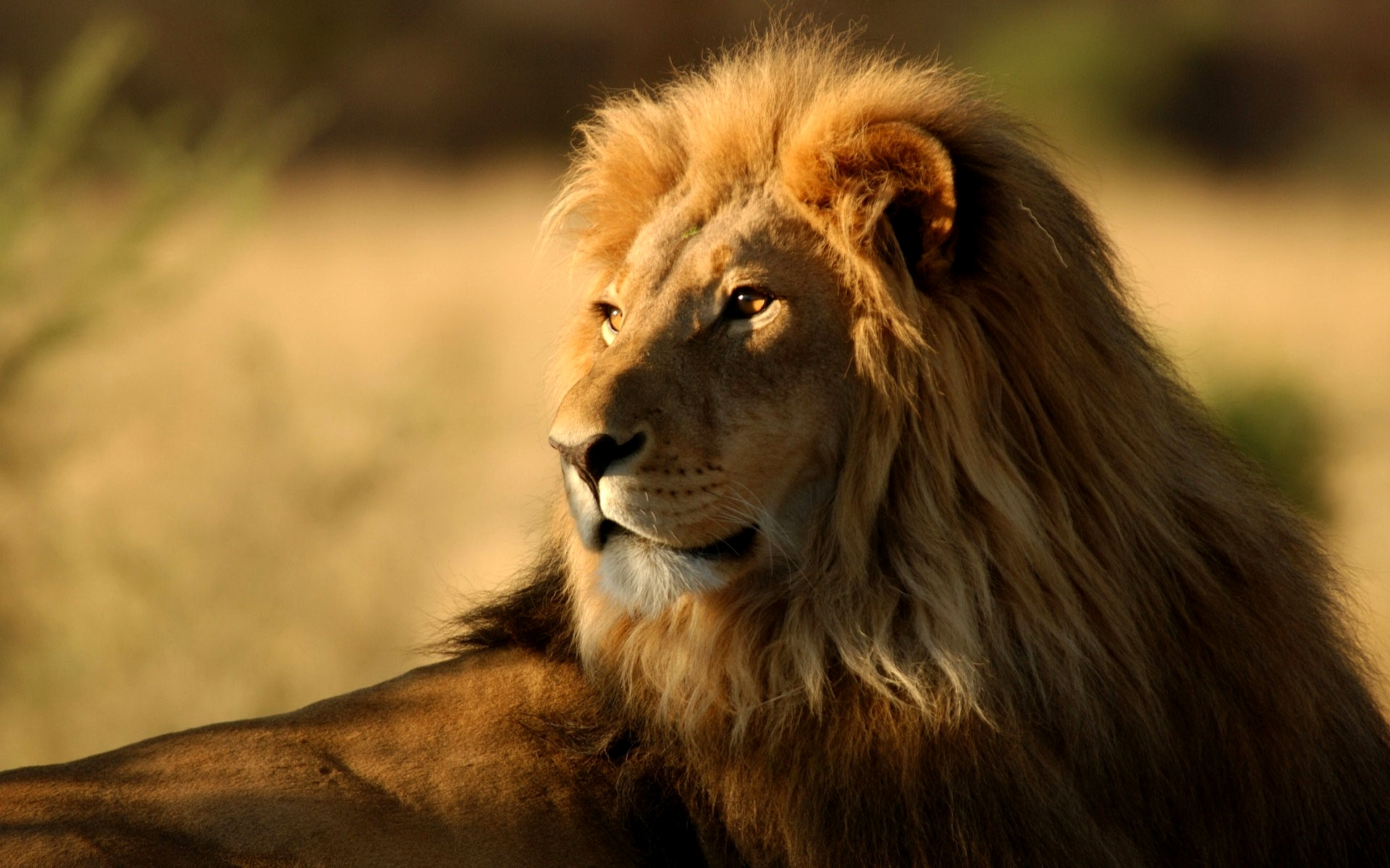 Lion Wallpaper HD Pictures One HD Wallpaper Pictures 1920x1200