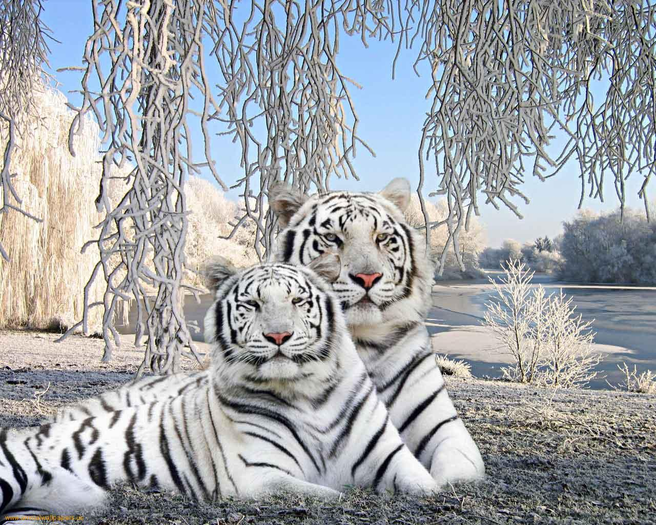 Free Download Two Cute Baby Tiger In Wallpaper Trendy White Baby
