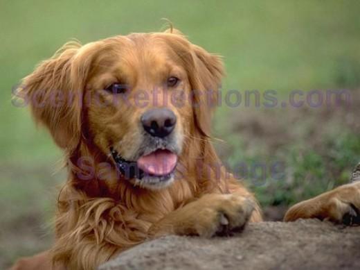 Dogs Screensaver 20   Download Pedigree Dogs Screensaver 520x389