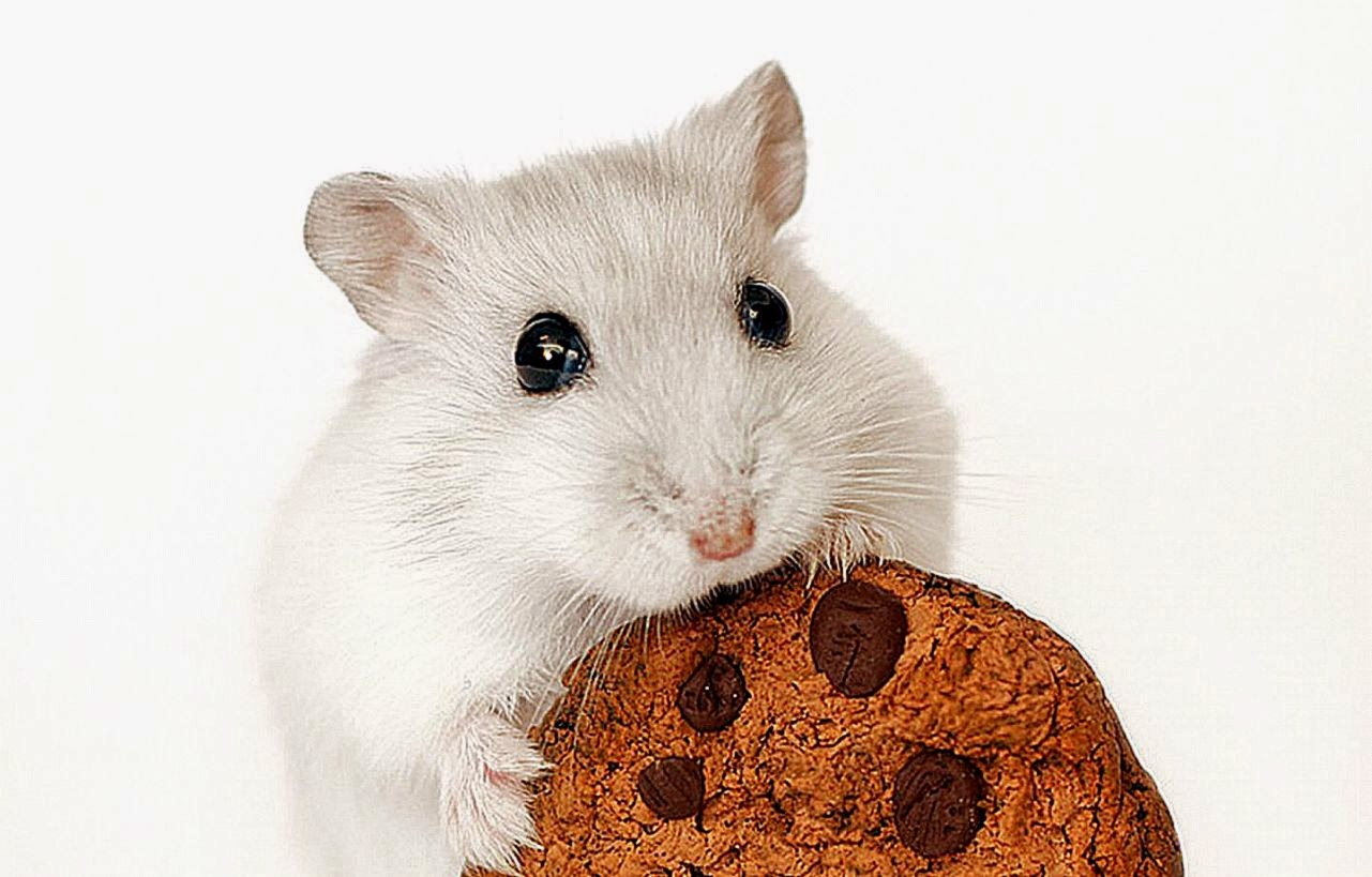 Hamster Background HD Wallpapers 1281x819