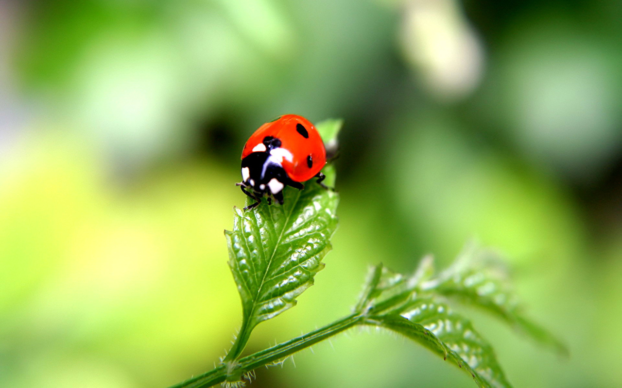 Desktop Wallpapers Lady beetle Insects Animals 1280x800