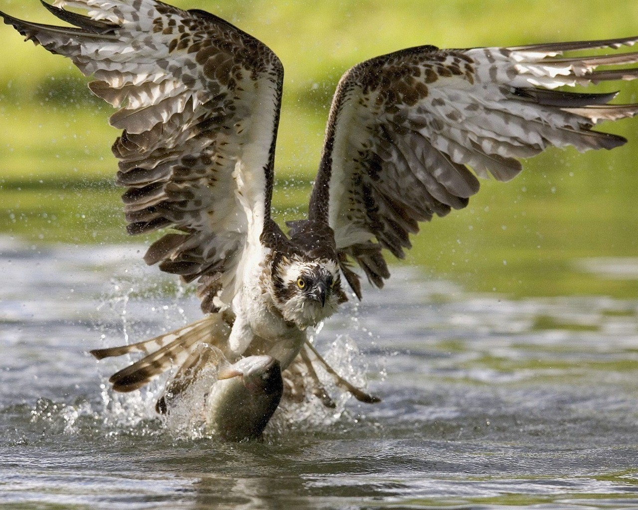 Eagle Hunting a Fish HD Wallpapers 1280x1024