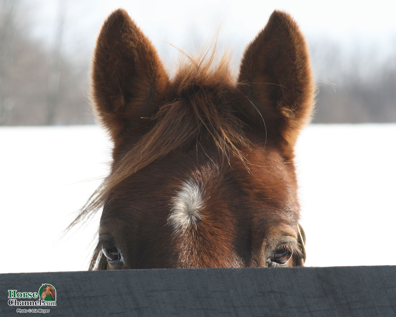 Winter Equine Screensaver and Wallpapers 1280x1024