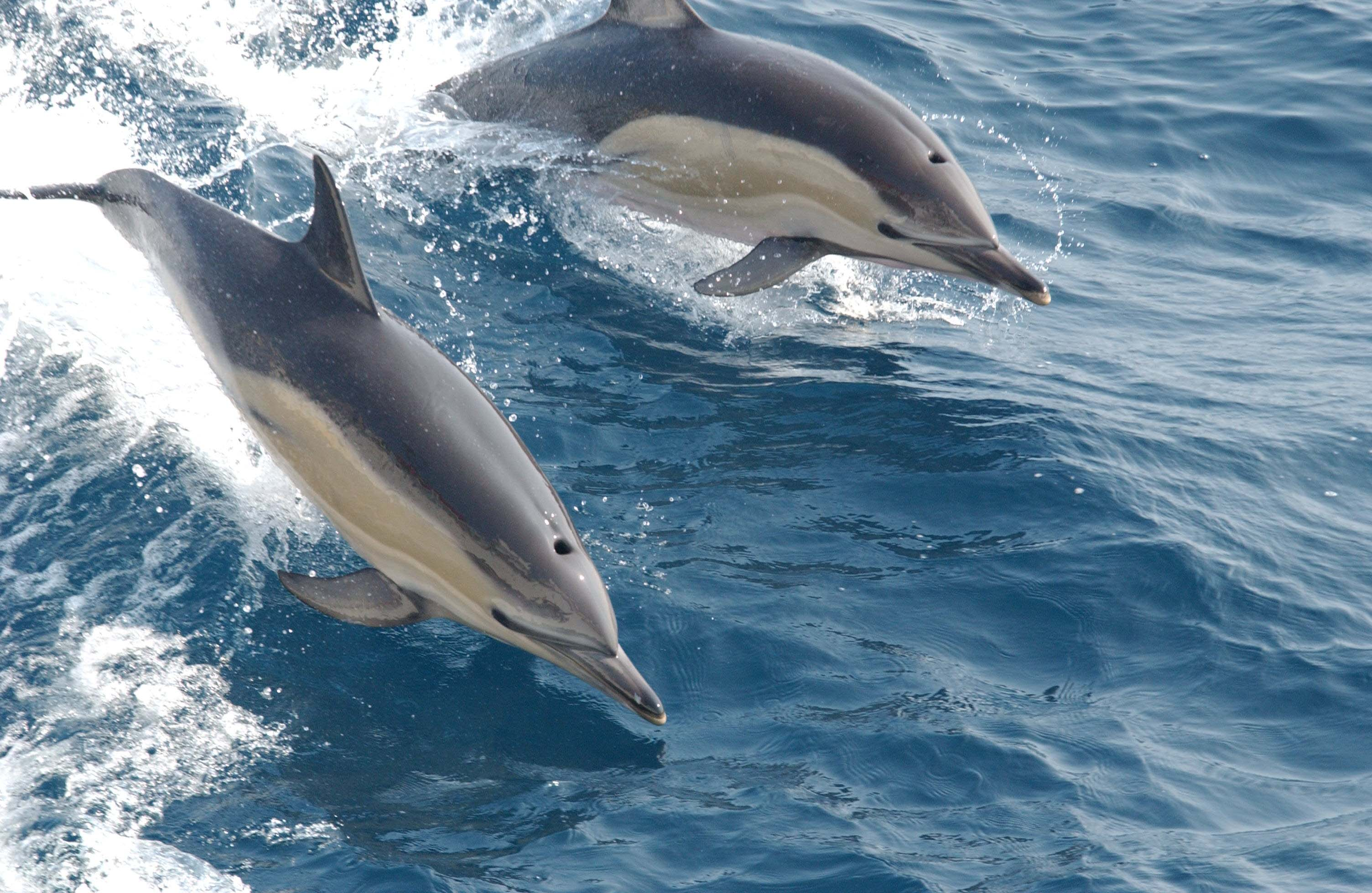 Dolphin Hd Wallpapers  Download 3008x1960