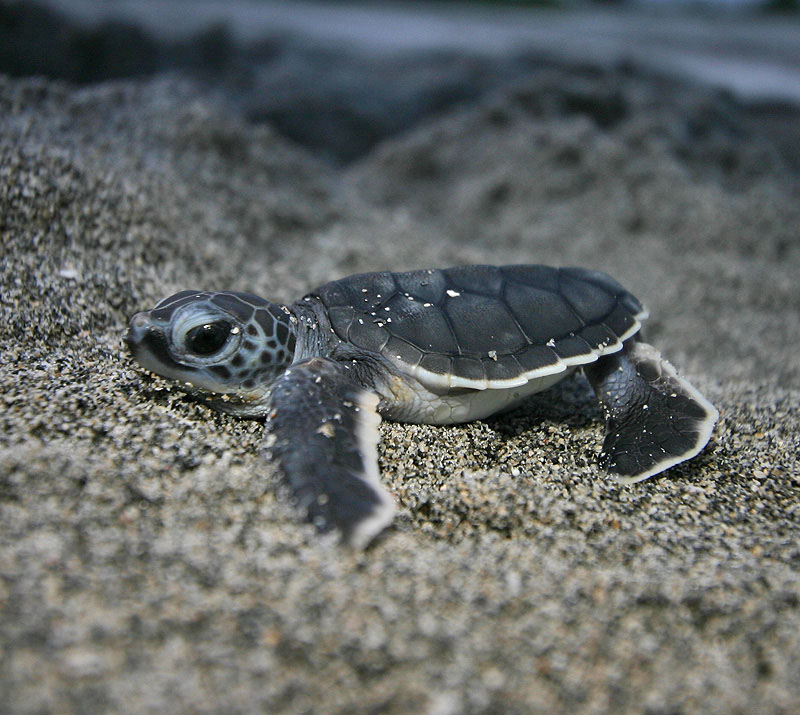 ve always thought baby sea turtles were the cutest 1bpblogspot 800x715