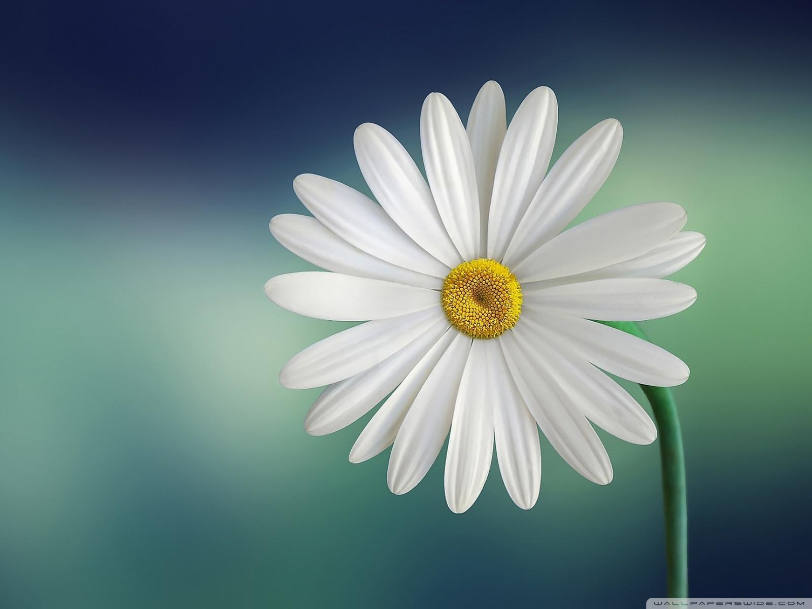 Marguerite Daisy Flower phone wallpaper by momo131313 1600x1200