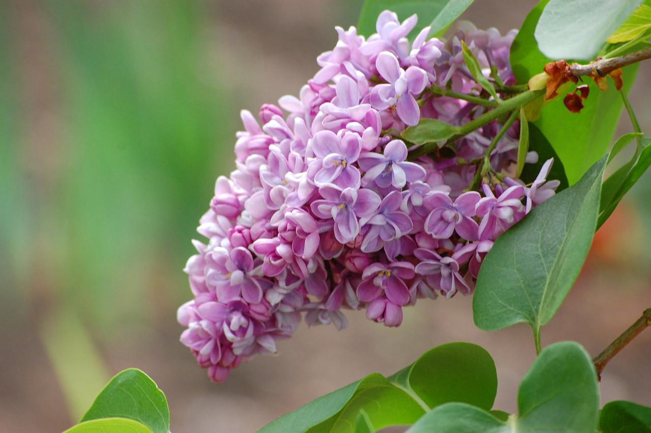 Lilac Flowers Wallpape...