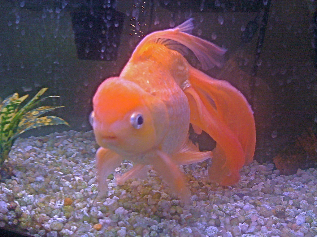 eye goldfish fantail goldfish ryukin gold fish beautiful goldfish 1024x768