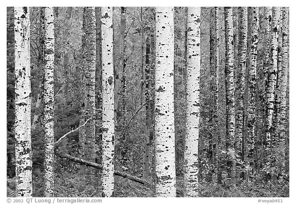 Black And White Birch Tree Wallpaper black and white trees 576x397