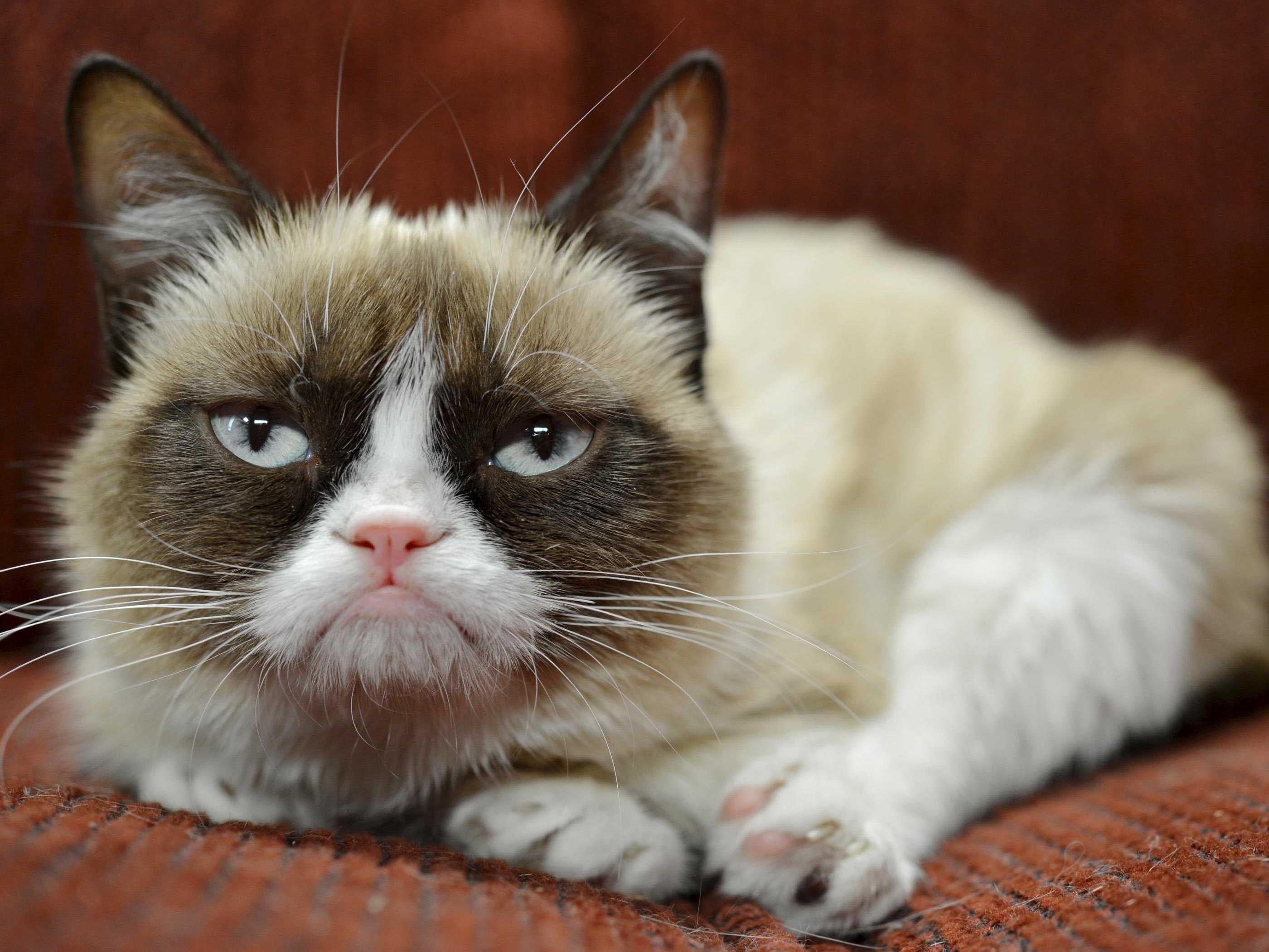 grumpy cat wallpaper iphone 4 great web wallpaper g251wsqi 2800x2100
