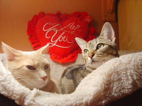 cute valentines day kittens cat pic 500x375