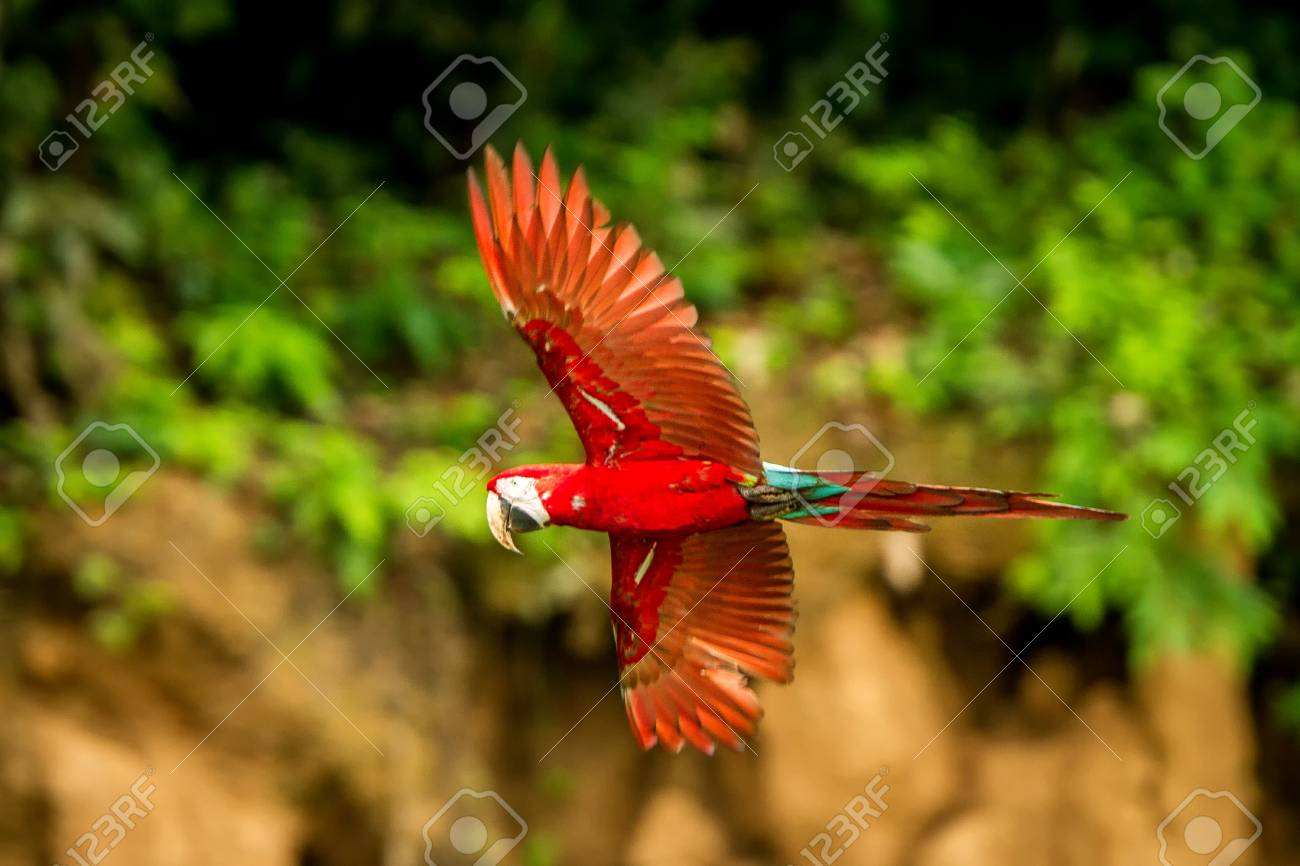 Red Parrot In Flight Macaw Flying Green Vegetation In Background 1300x866