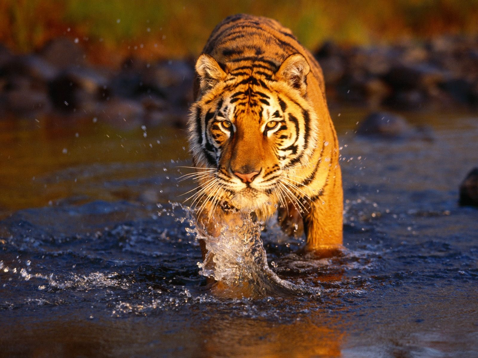 desktop animated pictures of tigers wallpaper desktop animated tigers 1600x1200